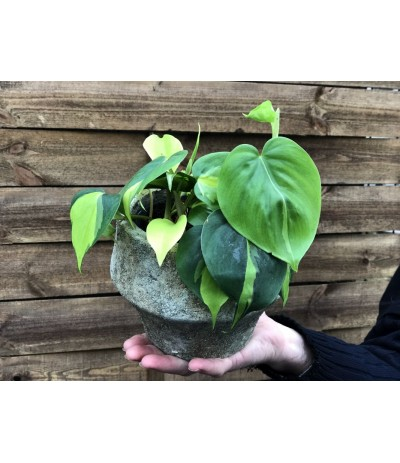 Philodendron scandens 'Brasil' Filodendron pnący