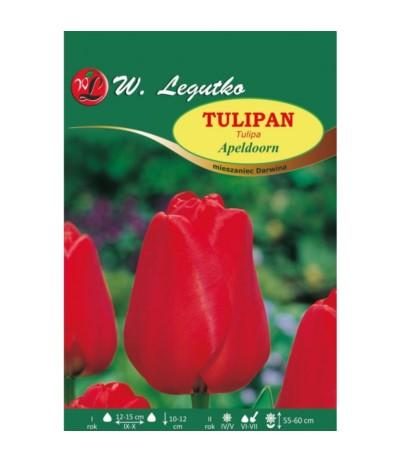 L.Tulipany Apeldoorn 5szt