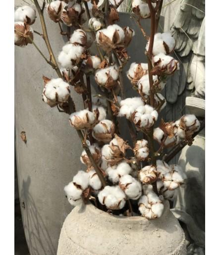 Kwiat bawełny- gałązka